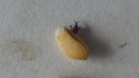 gorgojo del grano sitophilus granarius informacion sobre