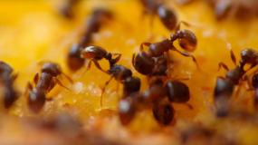 hormigas formicidae como prevenir la plaga de