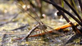 libelulas anisoptera como eliminar las