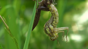 libelulas anisoptera como prevenir la plaga de