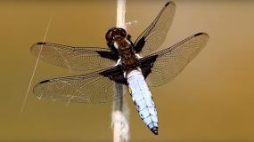 libelulas anisoptera informacion sobre