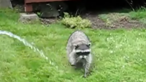 mapaches procyon como eliminar los