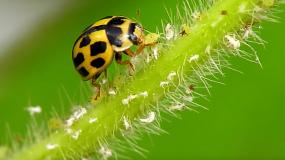 mariquitas coccinellidae como prevenir la plaga de