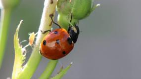 mariquitas coccinellidae informacion sobre