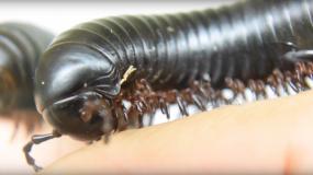 milpiés diplopoda como prevenir la plaga de