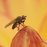 moscas del vinagre drosophila melanogaster informacion sobre