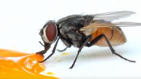 moscas diptera como prevenir la plaga de