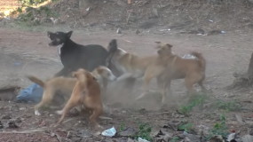 perros canis lupus como prevenir la plaga de