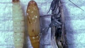 polillas de los alimentos plodia interpunctella informacion sobre