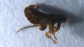 pulgas siphonaptera como prevenir la plaga de