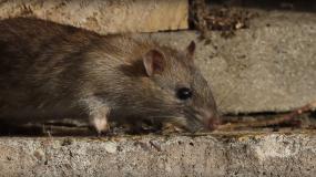 ratas rattus como prevenir la plaga de