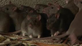 ratones mus informacion sobre