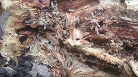 termitas isoptera como prevenir la plaga de
