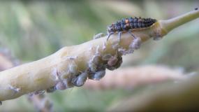 trips thysanoptera como prevenir la plaga de