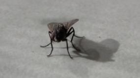 fliegen diptera Informationen uber