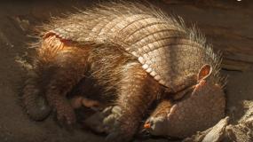 gurteltiere dasypodidae Informationen uber