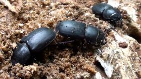 kafer coleoptera wie kann man ein Befall mit den verhindern