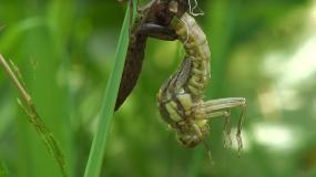 libellen anisoptera wie kann man ein Befall mit den verhindern