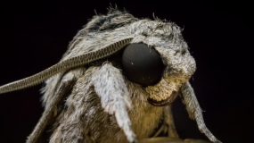 nachtfalter lepidoptera Informationen uber