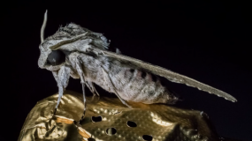 nachtfalter lepidoptera wie kann man das bekampfen