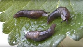 nacktschnecken gastropoda Informationen uber