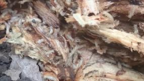 termiten isoptera Informationen uber