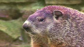 waldmurmeltiere marmota monax wie kann man das bekampfen