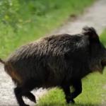 wildschweine suidae Informationen uber