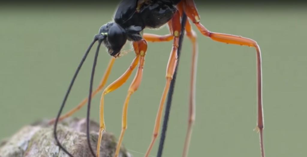 hogyan-szabaduljunk-meg-a-fadarazsaktol-siricidae