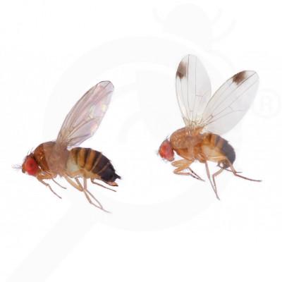 eu russell ipm attractant pheromone lure drosophila suzukii 50 p - 0