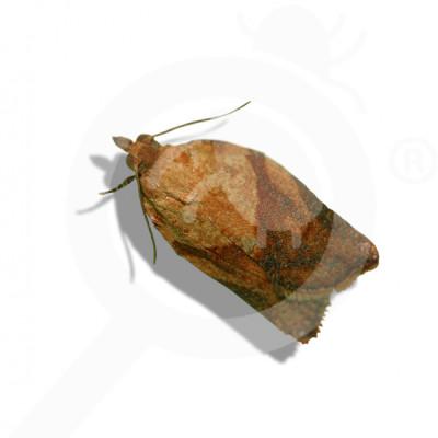 eu russell ipm pheromone lure epiphyas postvittana 50 p - 0