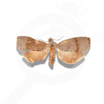eu russell ipm attractant pheromone lure grapholita molesta 50 p - 0