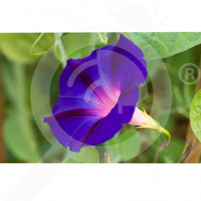 eu pieterpikzonen seed ipomea blue 2 g - 2