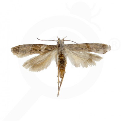 eu russell ipm pheromone lure tecia solanivora lineatella 50 p - 0