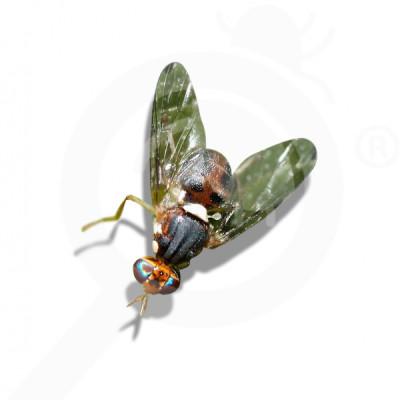 eu russell ipm attractant pheromone lure bactrocera oleae 50 p - 0