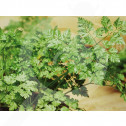 eu pop vriend seed commun parsley 500 g - 1, small