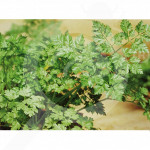 eu pop vriend seed commun parsley 1 kg - 2, small