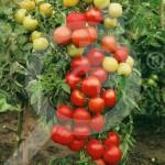 eu pieterpikzonen seed moneymarker 50 g - 1, small