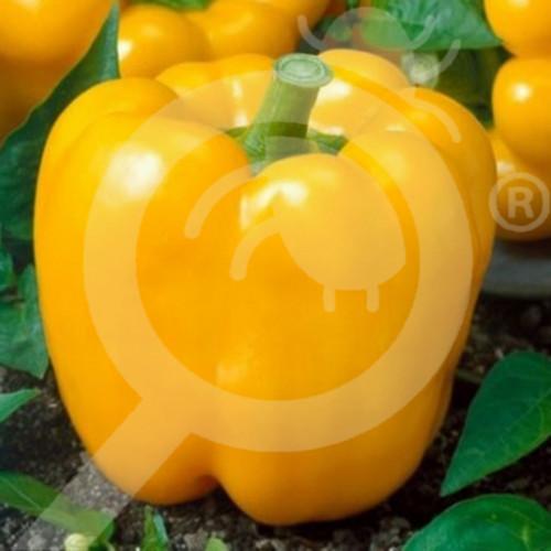 eu pieterpikzonen seed california wonder yellow 10 g - 1, small