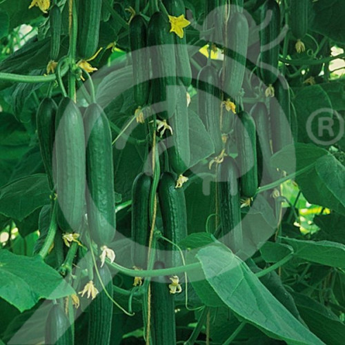 eu pieterpikzonen seed marketeer 2 g - 1