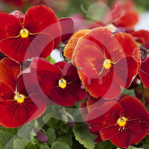 eu pieterpikzonen seed viola swiss giant evening sun 0 25 g - 1