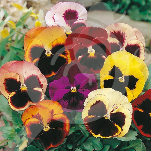 eu pieterpikzonen seed viola swiss giant mix 0 25 g - 1