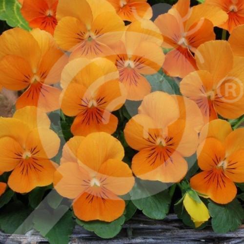 eu pieterpikzonen seed viola swiss giant orange sun 0 15 g - 1