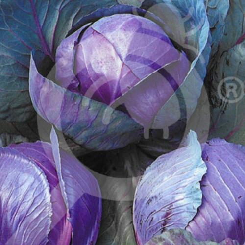 eu pieterpikzonen seed rodkoop 10 g - 1