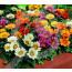 eu pieterpikzonen seed godentia azaleaflora 0 5 g - 1