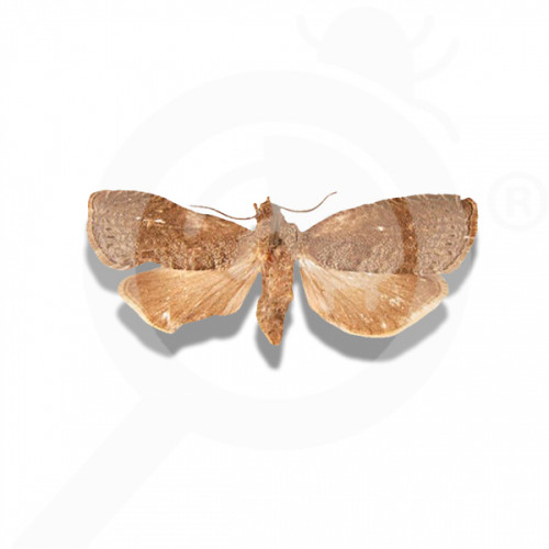 fr russell ipm attractant pheromone lure grapholita molesta 50 p - 0, small