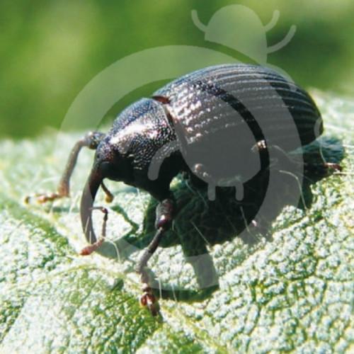 au bugs for bugs pheromone banana weevil borerset of 10 - 1, small