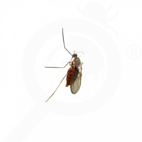es russell ipm attractant pheromone lure dasineura mali 50 p - 0, small
