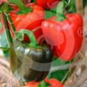 ro pieterpikzonen seminte yolo wonder 10 g - 1, small