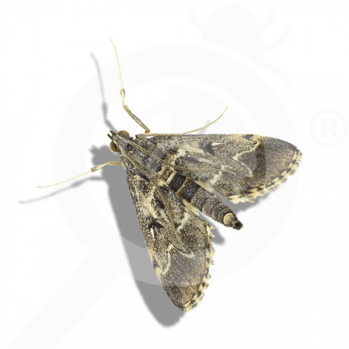 ro russell ipm pheromone lure duponchelia fovealis 50 p - 1, small